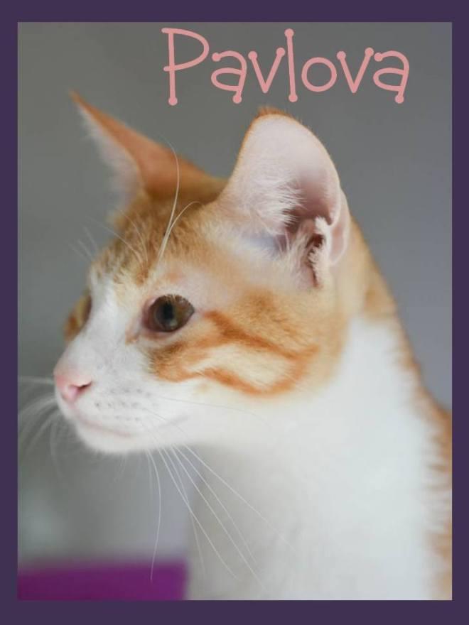 pavlova adopt a cat in Oman Muscat