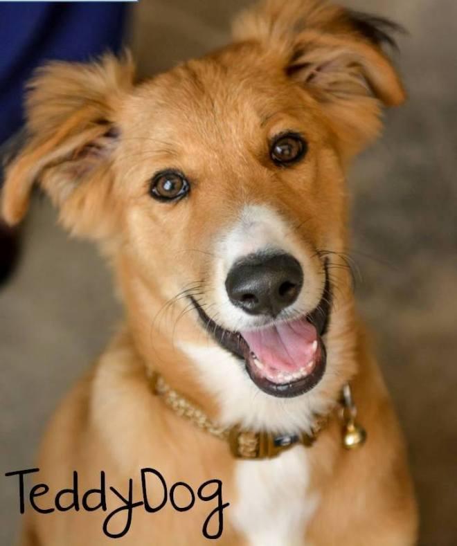 teddy dog pets free muscat oman